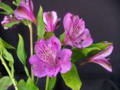 alstromeria-purple.jpg