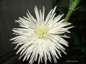 spidermum-white.jpg
